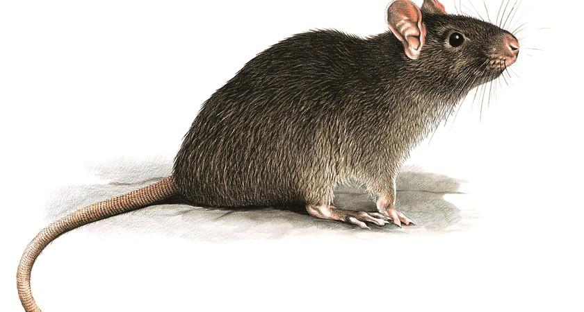 Неприятный запах для крыс, спасение для человека