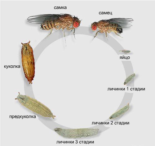 Стадии развития мух дрозофилов
