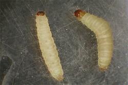 Личинки комара кусаки