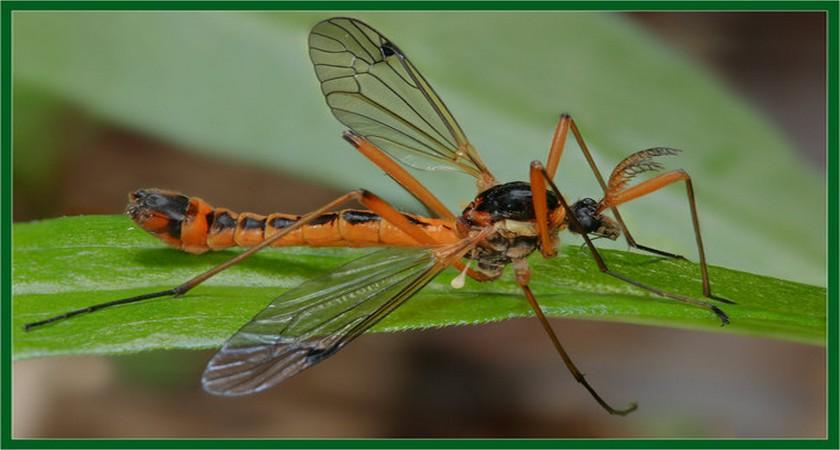 Красный комар — это долгоножка карамора