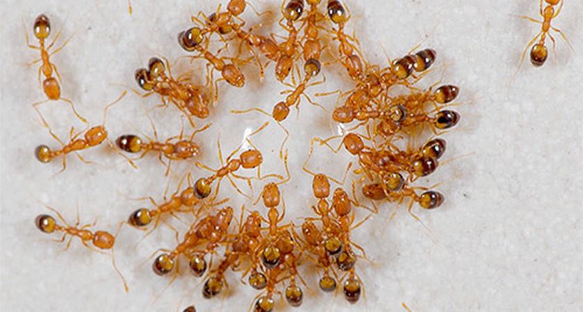 Средства от муравьев в квартире