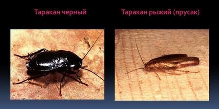 Отличия от привычного, рыжего таракана