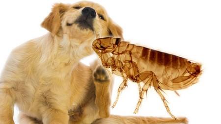 Основные признаки и методы борьбы с блохами у собак