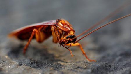 Фото американского таракана