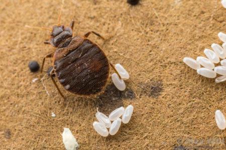 Для развития личинки до состояния взрослого насекомого необходимо 30–90 дней