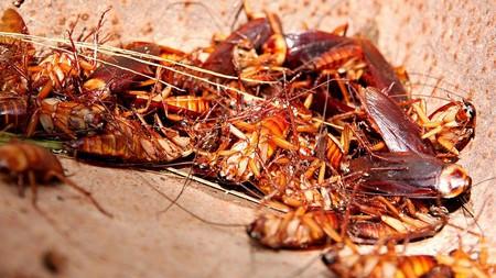 Рыжим тараканам больше нравится селиться в квартирах