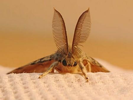 Основная функция бабочки моли – спаривание