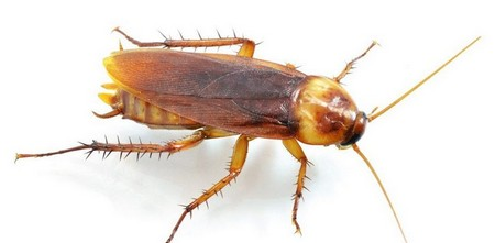 Как избавиться от рыжих тараканов в квартире быстро и народными средствами