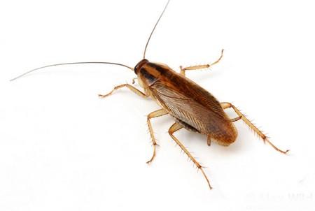 Сколько живут тараканы, как их обнаружить и избавиться
