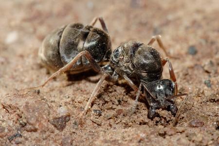 Кочевые муравьи сиафу