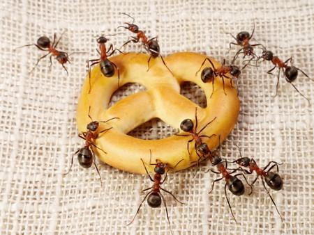Фараоновы муравьи знамениты всеядностью