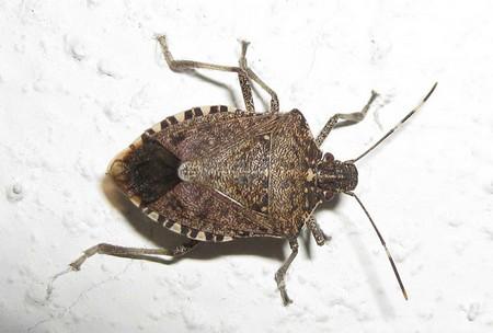 Этих насекомых называют еще щитниками